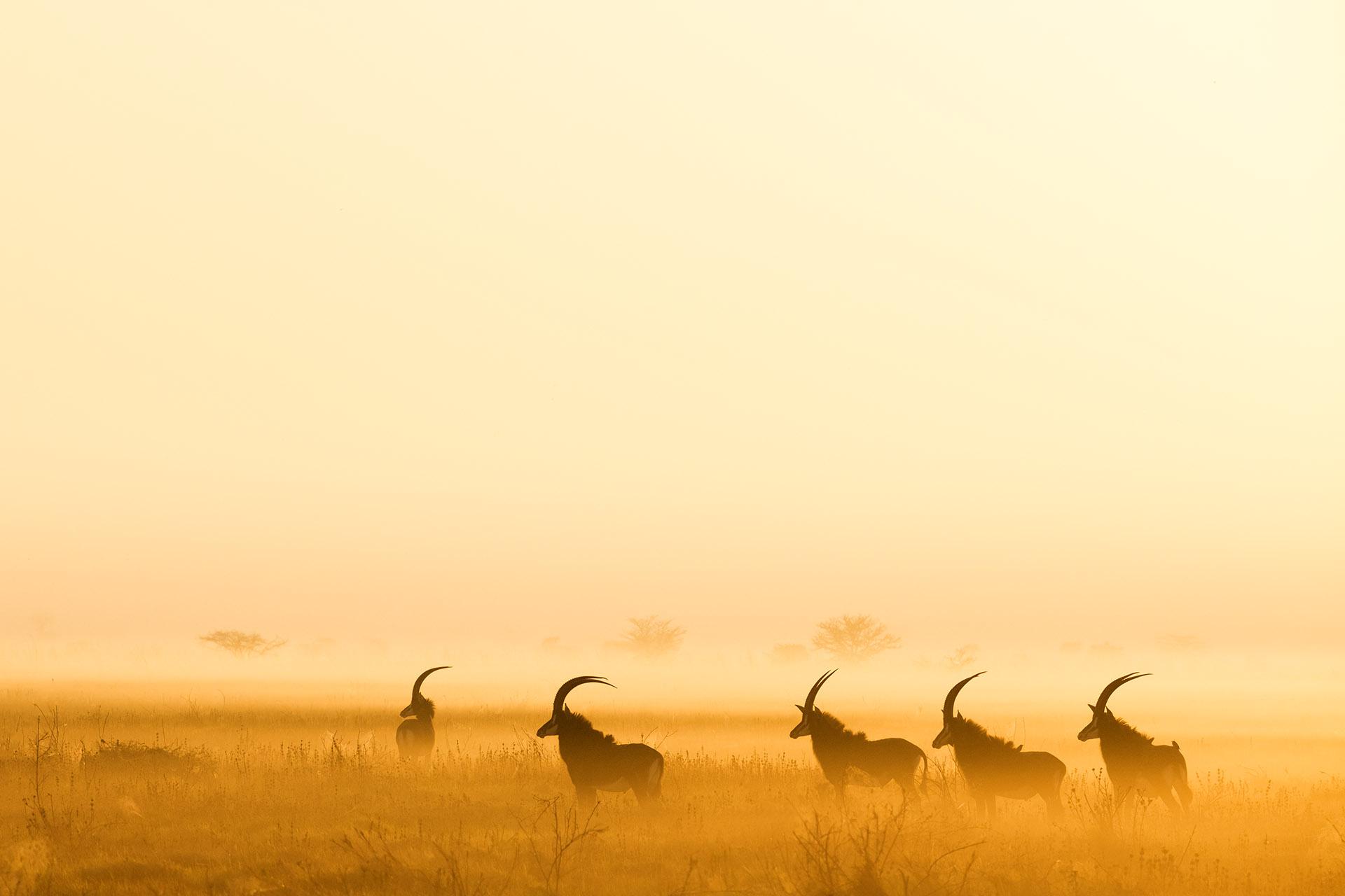 Sable - zambeze-delta-safaris-coutada-11-mozambique